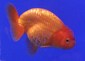 This is a picture of an overweight goldfish.