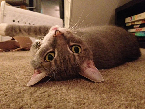 This is a picture of Disco lying on the carpet with his head turned upside down.