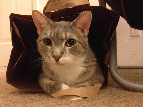 This is picture of Disco in a Trader Joe's paper grocery bag. His paws are tucked underneath the handles and his expression is one of wide-eyed surprise