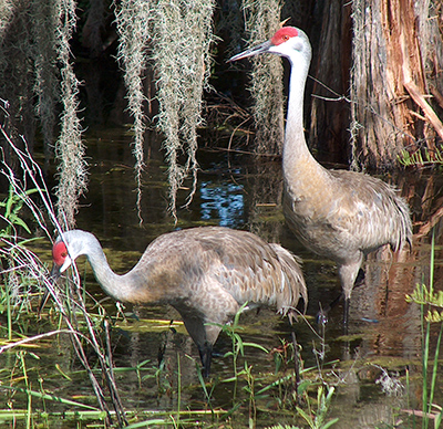 This is a picture of two cranes in a marsh.
